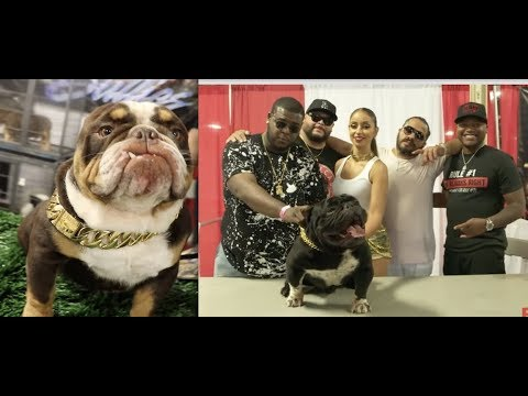 $MILLION DOLLAR DOGS! Exotic Bull Dog Show BY T.E.B.A. HOSTED BY MYA