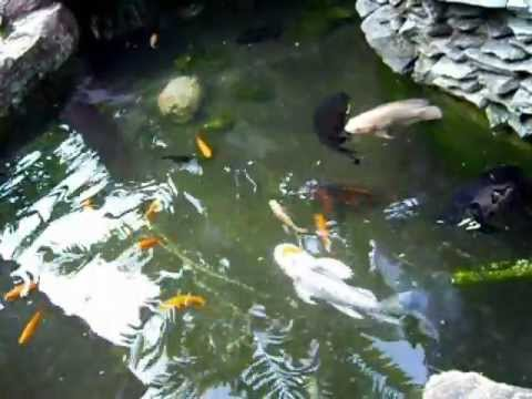 Tiger oscar fish pond in cebu philippines youtube for Large fish ponds for sale