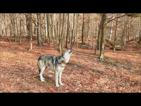 Timber Wolf Howl