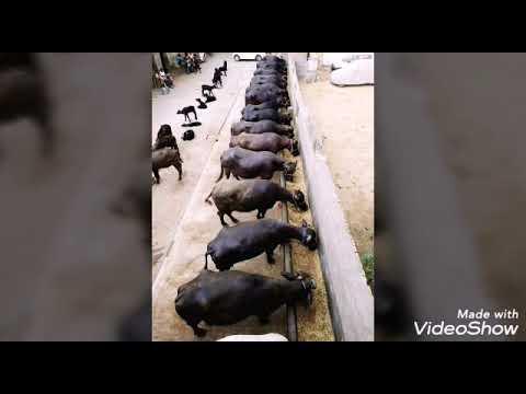 Baixar Ganpati Dairy Farm Haryana - Download Ganpati Dairy