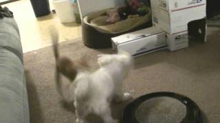 Princess Maggie May Maltese And Little Kitten Mochie Playing