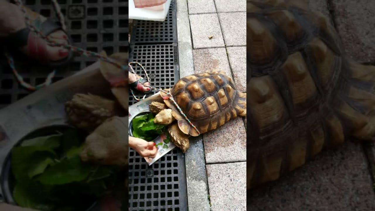 【烏龜巨無霸】你从未見過。The giant tortoise you have never seen