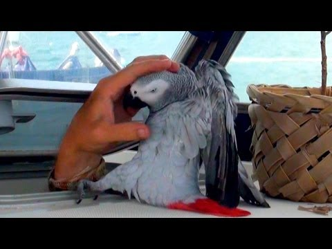 "FUNNIEST Parrot Ever... Meet Our Grey Parrot ""Lucky"" Living on a Sailboat in the Caribbean!"