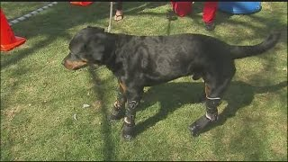 Raw Video: Brutus Uses His 4 Prosthetic Limbs