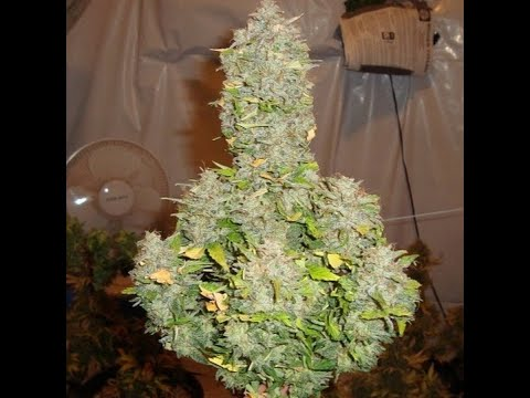 DRAUTOFLOWERS BASIC GUIDE TO AUTOFLOWER CANNABIS – GROWING LEGAL WEED