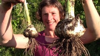 Comparing Ordinary Garlic and Elephant Garlic - And How To Grow Them