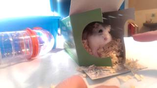 New Russian Winter White Dwarf Hamster - Adoption Only 12 Weeks Old.