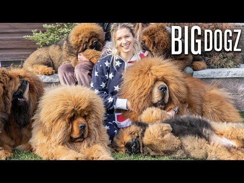 Tibetan Mastiffs - The 200lbs 'Bear Dogs'   BIG DOGZ