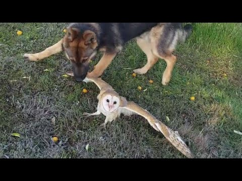 Owl trying to escape from a dog