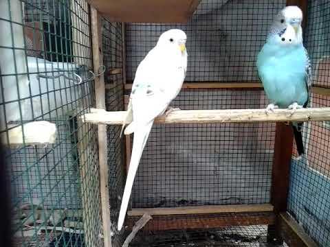 Tips Ternak Parkit Cara Menjodohkan Burung Parkit Youtube