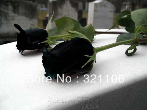 Black Rose Black Rose Meaning Youtube