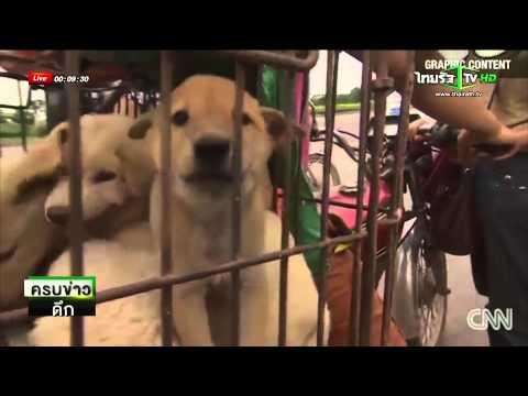 เทศกาลกินเนื้อหมาจีนเสี่ยงพิษสุนัขบ้า | 20-06-58 | ThairathTV