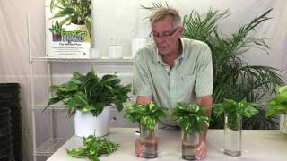 Propagating Pothos from Cuttings thumbnail