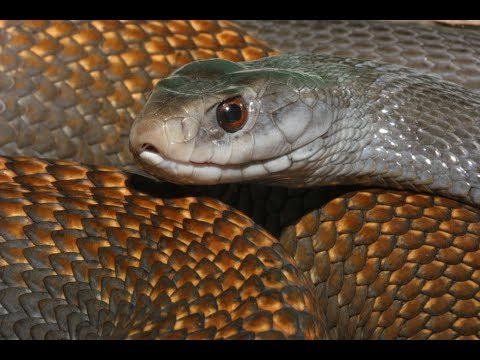 Самая свирепая змея в мире ТАЙПАН!!!