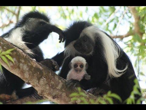Colobus Monkeys of Kenya!