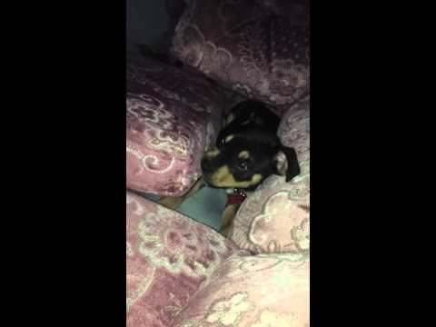 Rottweiler x Staffordshire Bull Terrier Puppy 10 Weeks Old
