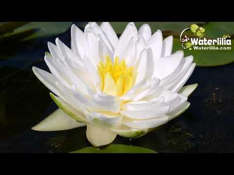 Кувшинка белая — описание, полезные свойства, применение