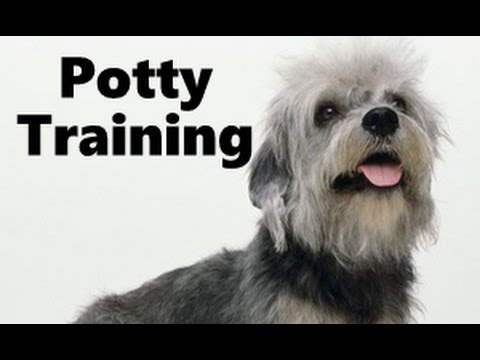 How To Potty Train A Dandie Dinmont Terrier Puppy - Dandie Dinmont Training - Dandie Dinmont Puppies