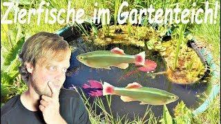 Zierfische im Gartenteich - Sommercamp für Kardinalfische