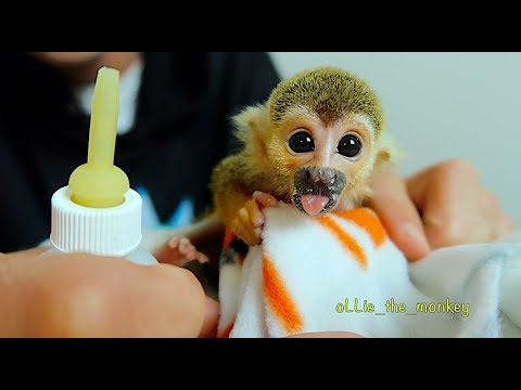 Baby Monkey oLLie Tiny Tastebud Training!