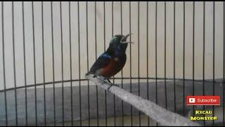 KONIN Pancingan Burung Bahan