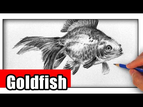 How To Draw A Goldfish The Easy Way