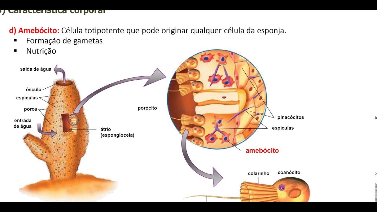 Poríferos características e fisiologia - YouTube
