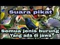 Suara Pikat Semua Jenis Burung Berkicau Sangat Ampuh  Mp3 - Mp4 Download