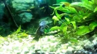 виды аквариумных сомиков. Аквариумный сомик Таракатум (лат. Hoplosternum thoracatum)