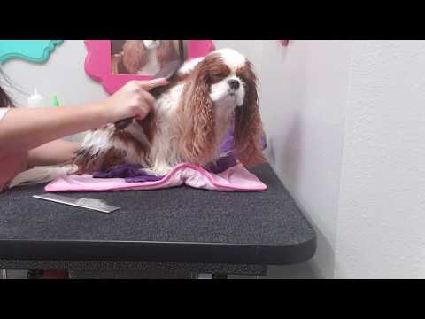 How to blow dry a Cavalier King Charles Spaniel- Dog grooming at home