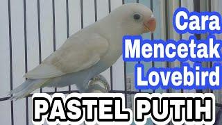 Cara Mencetak Lovebird Pastel Putih