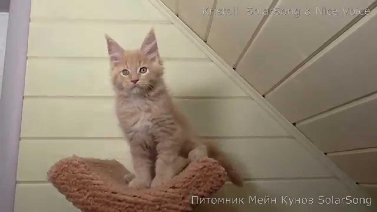Частные объявления о продаже кошек и котят, купить котенка из питомника на