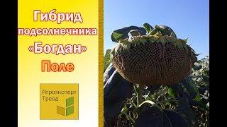 ВИДЕО - 🌻 Гибрид Подсолнуха Богдан 🌻 под Евролайтинг