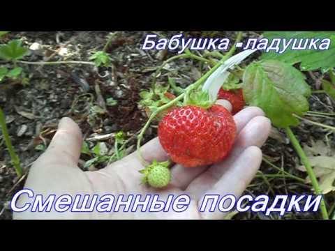 Клубника+петрушка+лук+чеснок на одной грядке.//3 | совмещенные | смешанные | земляника | петрушка | клубника | фасенда | посадки | чеснок | огород | грядка