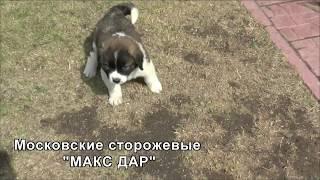 щенки Макс Дар