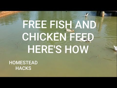 Free Fish And Chicken Feed Here's How