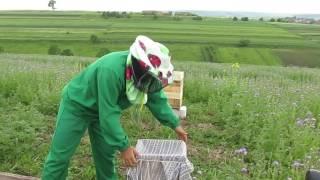 видео Семена Фацелии пижмолистной - 1 кг - Магазин - Пчеловодство. Купить ульи. Продажа ульев. Цена на ульи