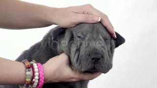 Stock Footage - Shar Pei Puppy Petted By Its Owner | Videohive