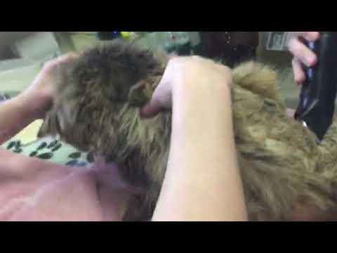 Older cat with matted fur. How to remove safely and why it's so important to do.