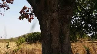 महुआ वृक्ष बहुत दिव्य ओर चमत्कारी वनस्पति है