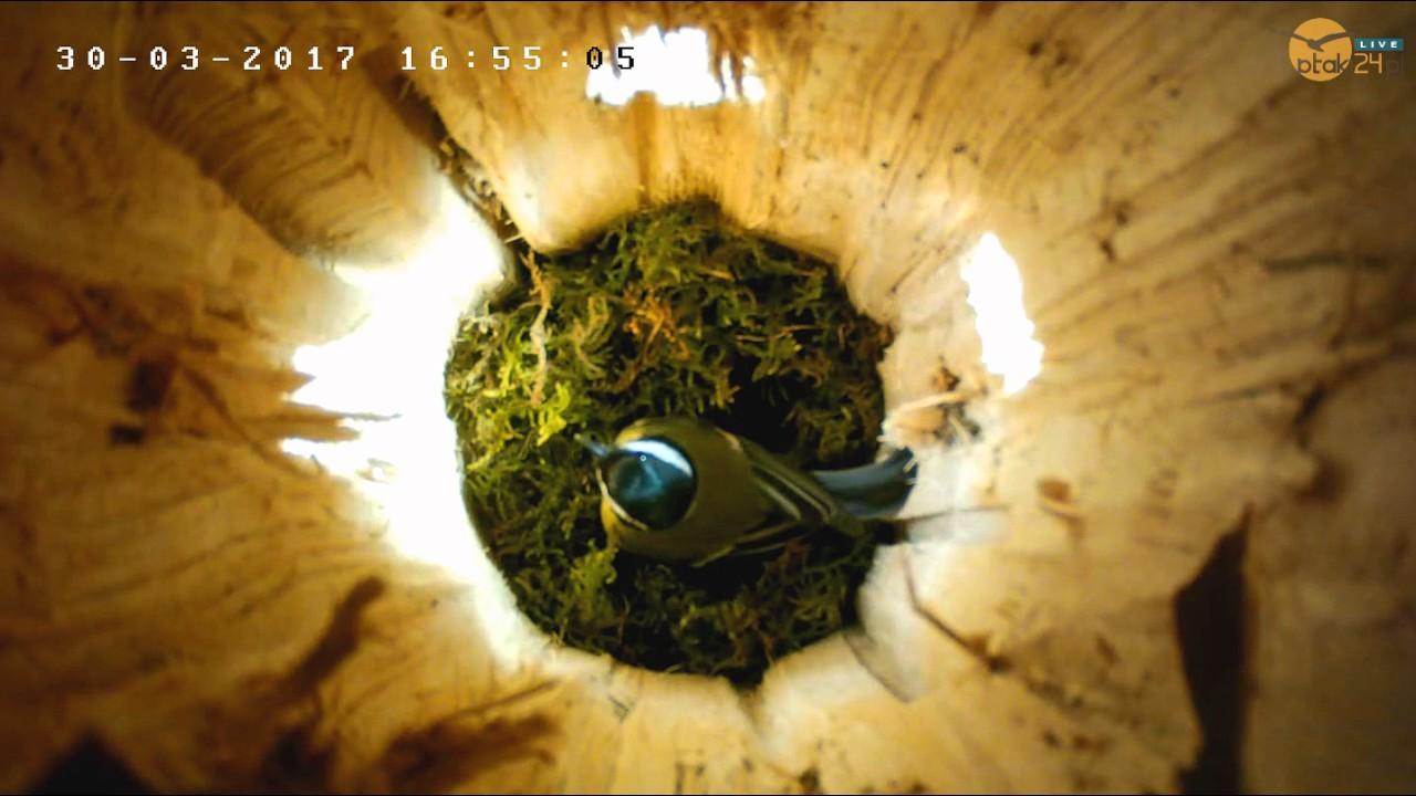 Bogatka wije gniazdo w dziupli lęgowej #02 nad Soliną