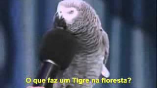 Papagaio falante que imita bichos e fala ingles