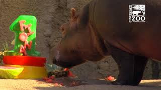 Baby Hippo Fiona Gets Her 1st Birthday Cake - Cincinati Zoo