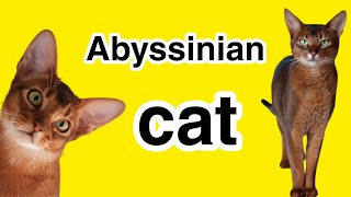 Cat breeds | Learn the history of the Abyssinian cat