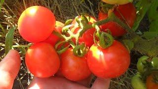 видео томат батяня: отзывы, фото, урожайность, характеристика