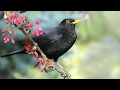 Blackbirds Quiet Or Twitter Song mp3