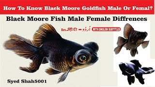 Black Moore Goldfish Male And Female differences #Goldfish! Male or Female?