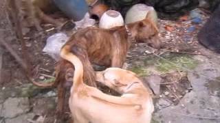 Phối Giống Chó Phú Quốc Vện Lửa