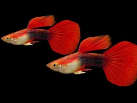 Red neon male guppy tropical freshwater fish for sale for Guppy fish for sale
