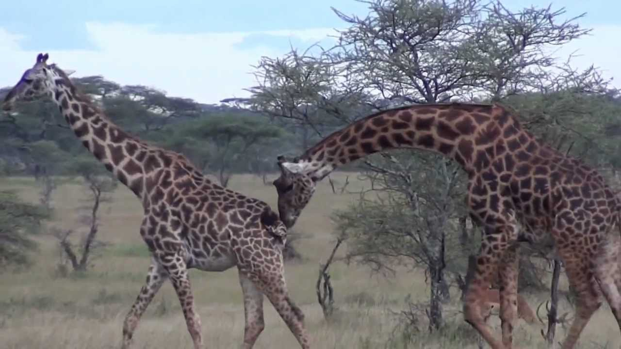 Male And Female Giraffe In The Serengeti Tanzania - Youtube-6651